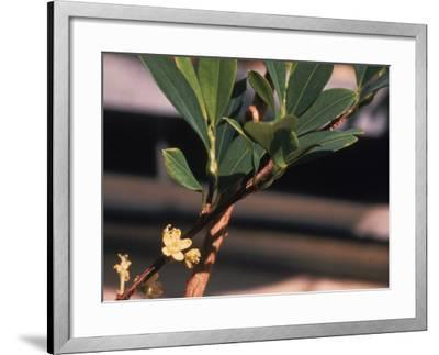 The Coca Leaf Plant, Used to Make Cocaine--Framed Photographic Print