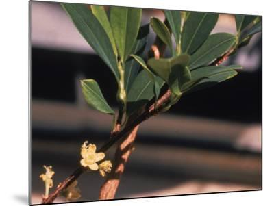 The Coca Leaf Plant, Used to Make Cocaine--Mounted Photographic Print
