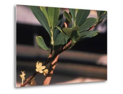 The Coca Leaf Plant, Used to Make Cocaine--Metal Print