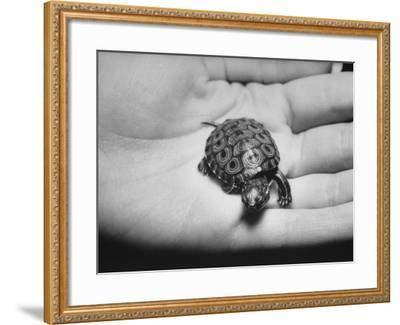 Pet Turtle-Ralph Morse-Framed Photographic Print