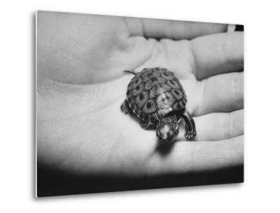 Pet Turtle-Ralph Morse-Metal Print