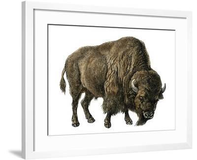 Bison, or American Buffalo--Framed Giclee Print