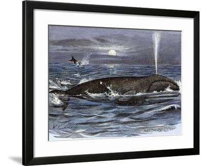 Right Whale Spouting--Framed Giclee Print