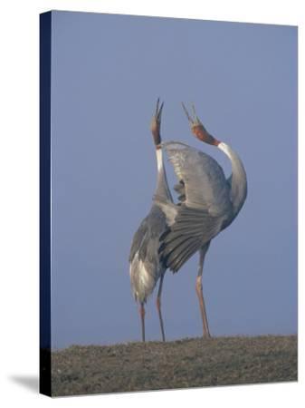 Sarus Cranes Pair Displaying, Unison Call, Keoladeo Ghana Np, Bharatpur, Rajasthan, India-Jean-pierre Zwaenepoel-Stretched Canvas Print