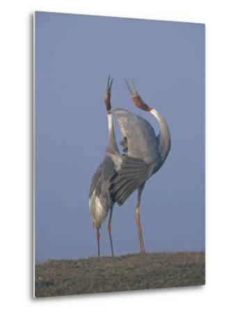 Sarus Cranes Pair Displaying, Unison Call, Keoladeo Ghana Np, Bharatpur, Rajasthan, India-Jean-pierre Zwaenepoel-Metal Print