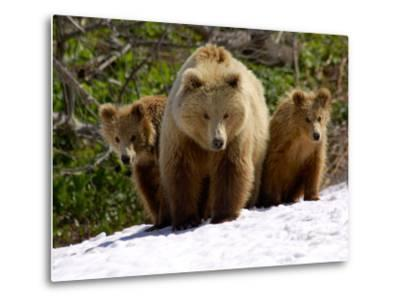 Brown Bear Mother with Cubs, Valley of the Geysers, Kronotsky Zapovednik, Russia-Igor Shpilenok-Metal Print