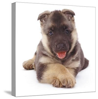 German Shepherd Dog Alsatian Puppy Lying with Paws Crossed-Jane Burton-Stretched Canvas Print