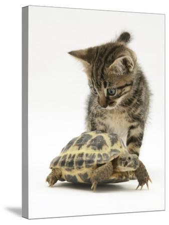 Silver Tabby Kitten Looking at a Hermann's Tortoise Walking-Jane Burton-Stretched Canvas Print