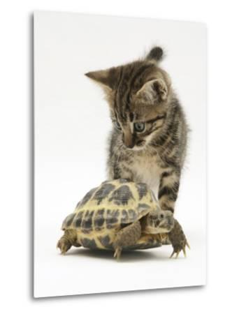 Silver Tabby Kitten Looking at a Hermann's Tortoise Walking-Jane Burton-Metal Print