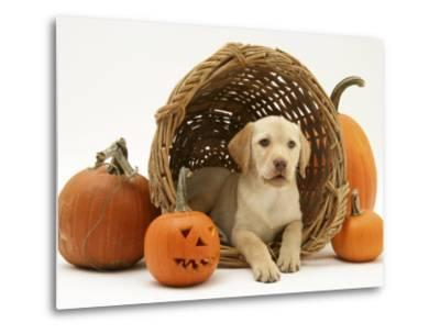 Yellow Labrador Retriever Pup Lying in Wicker Basket and Pumpkins at Halloween-Jane Burton-Metal Print