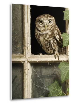 Little Owl in Window of Derelict Building, UK, January-Andy Sands-Metal Print