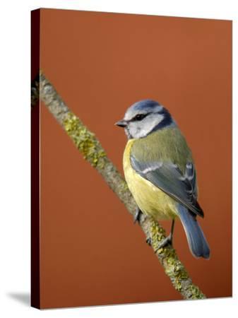 Blue Tit on Branch, Cornwall, UK-Ross Hoddinott-Stretched Canvas Print