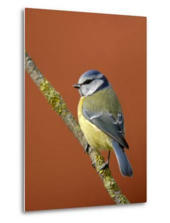 Blue Tit on Branch, Cornwall, UK-Ross Hoddinott-Metal Print