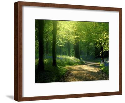 Track Leading Through Lanhydrock Beech Woodland with Bluebells in Spring, Cornwall, UK-Ross Hoddinott-Framed Premium Photographic Print