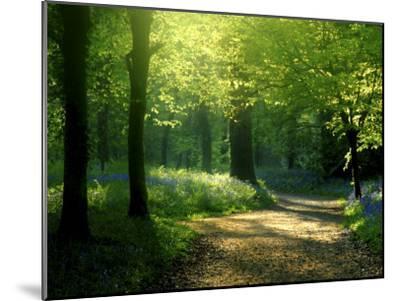 Track Leading Through Lanhydrock Beech Woodland with Bluebells in Spring, Cornwall, UK-Ross Hoddinott-Mounted Premium Photographic Print