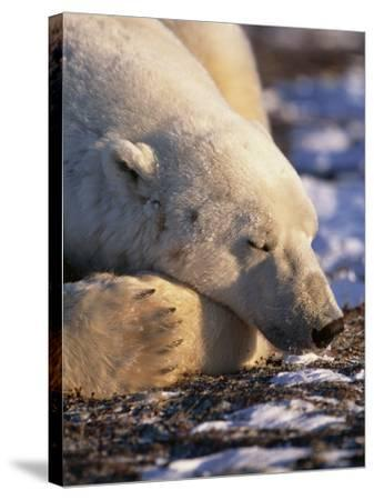 Polar Bear Resting, Churchill, Manitoba, Canada-Eric Baccega-Stretched Canvas Print