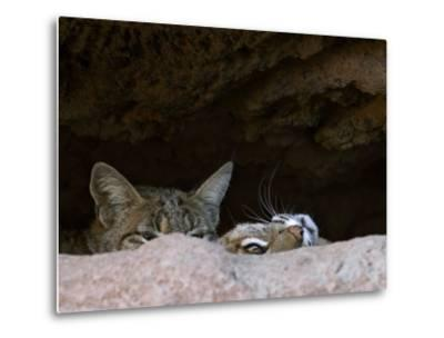 Two American Bobcats Peering over Rock in Cave. Arizona, USA-Philippe Clement-Metal Print