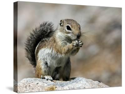 Harris Antelope Squirrel Feeding on Seed. Organ Pipe Cactus National Monument, Arizona, USA-Philippe Clement-Stretched Canvas Print