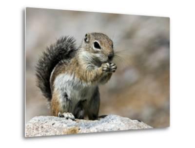 Harris Antelope Squirrel Feeding on Seed. Organ Pipe Cactus National Monument, Arizona, USA-Philippe Clement-Metal Print
