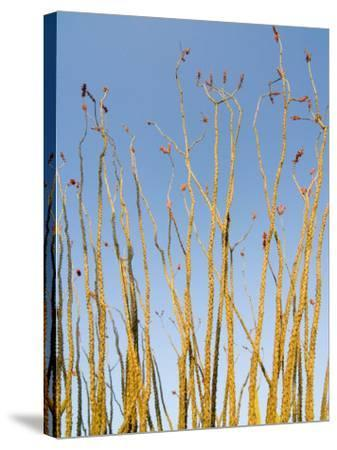 Ocotillo in Flower. Organ Pipe Cactus National Monument, Arizona, USA-Philippe Clement-Stretched Canvas Print