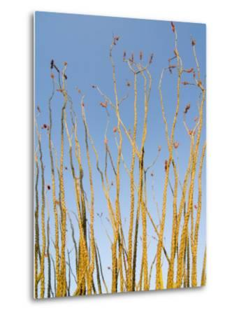 Ocotillo in Flower. Organ Pipe Cactus National Monument, Arizona, USA-Philippe Clement-Metal Print