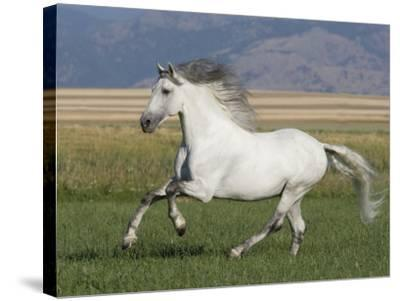 Grey Andalusian Stallion Running in Field, Longmont, Colorado, USA-Carol Walker-Stretched Canvas Print
