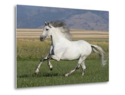 Grey Andalusian Stallion Running in Field, Longmont, Colorado, USA-Carol Walker-Metal Print