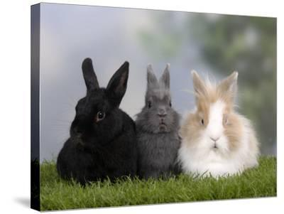 Two Dwarf Rabbits and a Lion-Maned Dwarf Rabbit-Petra Wegner-Stretched Canvas Print