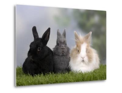 Two Dwarf Rabbits and a Lion-Maned Dwarf Rabbit-Petra Wegner-Metal Print
