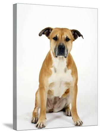 American Staffordshire Terrier Staffy Sitting Portrait-Petra Wegner-Stretched Canvas Print