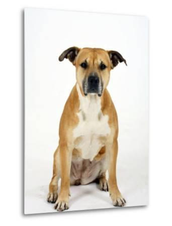 American Staffordshire Terrier Staffy Sitting Portrait-Petra Wegner-Metal Print