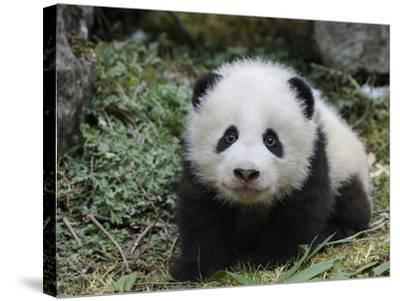 Giant Panda Baby Aged 5 Months, Wolong Nature Reserve, China-Eric Baccega-Stretched Canvas Print