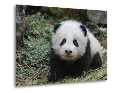 Giant Panda Baby Aged 5 Months, Wolong Nature Reserve, China-Eric Baccega-Metal Print
