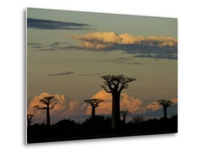 Baobab Trees in Baobabs Avenue, Near Morondava, West Madagascar-Inaki Relanzon-Metal Print