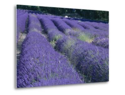 Field of Lavander Flowers Ready for Harvest, Sault, Provence, France, June 2004-Inaki Relanzon-Metal Print