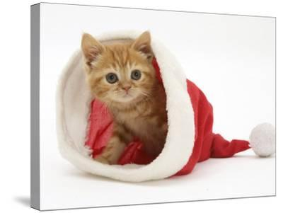 Red Tabby Kitten in a Father Christmas Hat-Jane Burton-Stretched Canvas Print