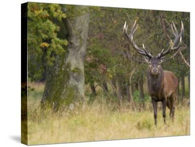Red Deer Stag with Vegetation on Antlers During Rut, Dyrehaven, Denmark-Edwin Giesbers-Stretched Canvas Print