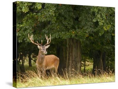 Red Deer Stag, Dyrehaven, Denmark-Edwin Giesbers-Stretched Canvas Print