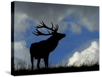 Silhouette of Red Deer Stag, Dyrehaven, Denmark-Edwin Giesbers-Stretched Canvas Print