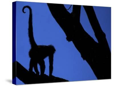 Silhouette of Black-Handed Spider Monkey Standing in Tree, Costa Rica-Edwin Giesbers-Stretched Canvas Print