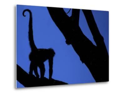 Silhouette of Black-Handed Spider Monkey Standing in Tree, Costa Rica-Edwin Giesbers-Metal Print