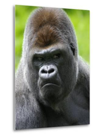Head Portrait of Male Silverback Western Lowland Gorilla Captive, France-Eric Baccega-Metal Print