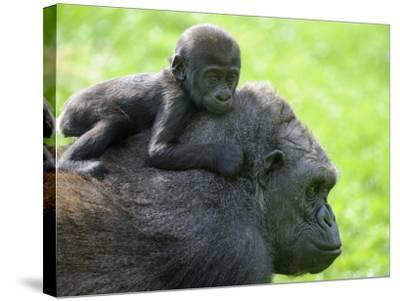 Western Lowland Gorilla Mother Carrying Baby on Her Back. Captive, France-Eric Baccega-Stretched Canvas Print