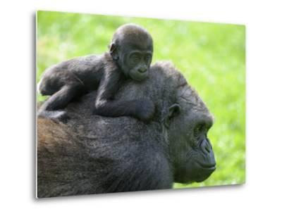 Western Lowland Gorilla Mother Carrying Baby on Her Back. Captive, France-Eric Baccega-Metal Print