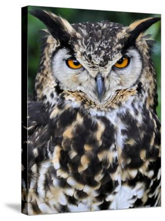 Head Portrait of Spotted Eagle-Owl Captive, France-Eric Baccega-Stretched Canvas Print
