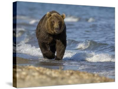 Brown Bear Beside Water, Kronotsky Nature Reserve, Kamchatka, Far East Russia-Igor Shpilenok-Stretched Canvas Print