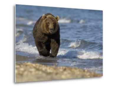 Brown Bear Beside Water, Kronotsky Nature Reserve, Kamchatka, Far East Russia-Igor Shpilenok-Metal Print