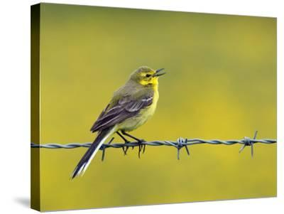 Yellow Wagtail Male Singing from Barbed Wire Fence, Upper Teesdale, Co Durham, England, UK-Andy Sands-Stretched Canvas Print