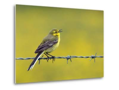 Yellow Wagtail Male Singing from Barbed Wire Fence, Upper Teesdale, Co Durham, England, UK-Andy Sands-Metal Print