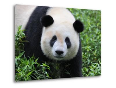 Giant Panda Bifengxia Giant Panda Breeding and Conservation Center, China-Eric Baccega-Metal Print